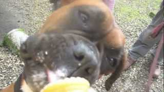 Dogs love ice creams in Bosham.