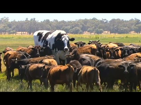 Xxx Mp4 This Enormous 39 Giant Cow 39 In Australia Is Too Big For A Slaughterhouse 3gp Sex
