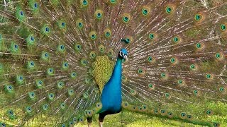 Peacock Dance Display - Peacocks Opening Feathers HD & Bird Sound
