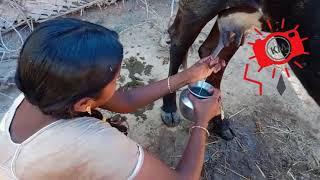 Cow Milking || Women Cow Milking By Hand || Kings Men