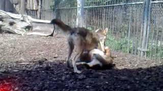 Vlci - rvačka