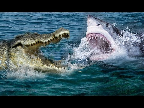 Xxx Mp4 Unbelievable Crocodile Vs Shark Who Will Be The Winner 3gp Sex