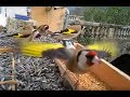 Magnifique Vidéo De Chardonneret élégant En Liberté - European Goldfinch - Carduelis Carduelis
