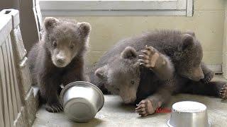 Three little brown bear cubs