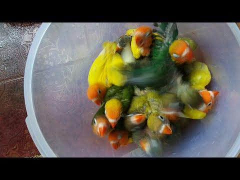 PANEN Lovebird warna warni   Firman Bird Farm