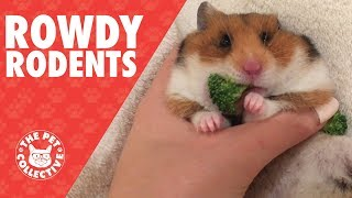 Rowdy Rodents   Funny Pet Video Compilation 2017