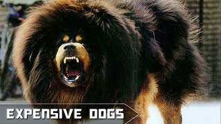 Top 10 Most Expensive Dogs In The World 2015