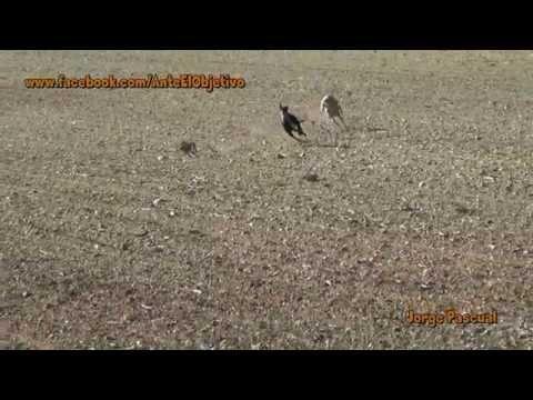30.- Galgos vs Liebres XXX --- Greyhounds vs Hares XXX (Un 10 para la liebre)