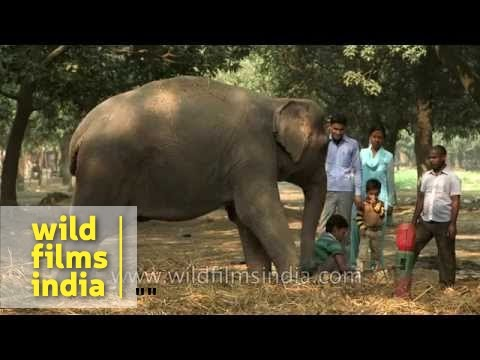 Girls feed a friendly but unhappy elephant that is tied up