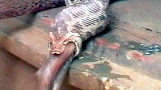 Cobra mata e engole antílope inteiro e homem registra o momento em uma câmera de celular