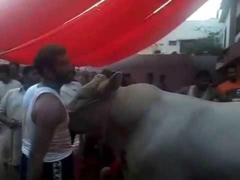 Bull Qurbani Bakra Eid 2014 Cattle Farm Bulls