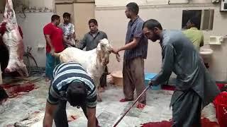 Aziz Sons - Qurbani Bakra Eid 2017 XII