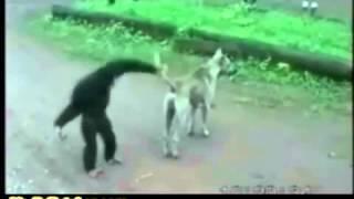 قرد يقووم بضرب الكلب انظر ماذا فعل الكلب في القرد هههههههههه