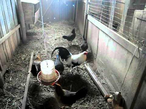 gallos americanos parte 2