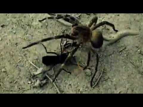 Cavalo do Cão matando Aranha Armadeira