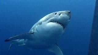 Great White Sharks | JONATHAN BIRD