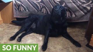 Labrador Retriever demands belly scratches from human