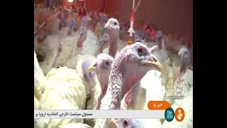 Iran Turkey birds farming report, Boyer-Ahmad county گزارشي از پرورش بوقلمون شهرستان بويراحمد ايران