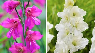 How to Plant Gladioli bulbs: Jeff demonstrates how to plant Dwarf Gladioli corms