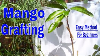 How to Graft Mango Tree with Update /Easy Method For Beginners -6 Sep 2017
