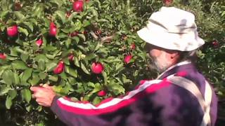 How To Pick Apples at Suprima Farms