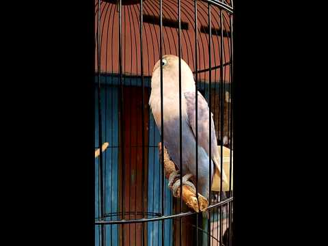 Lovebird # JAHANAM # ngekek 1 menit tanpa jeda..