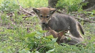 World's Last Wild Red Wolves Need Your Help