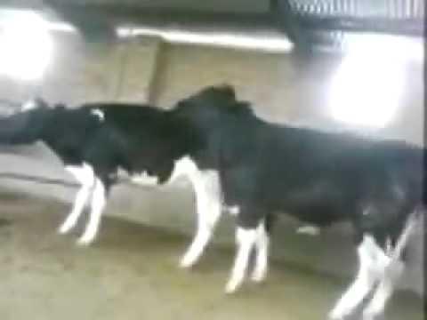 Xxx Mp4 Cow Ox Sex Funny 3gp Sex