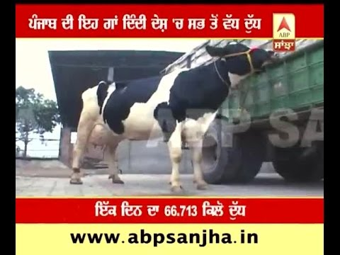 Xxx Mp4 This Cow Gives 67 Kg Milk A Day All Time High 3gp Sex