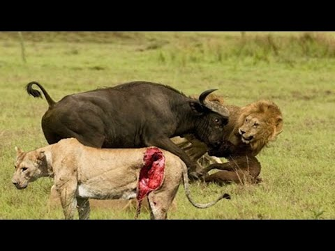 Xxx Mp4 Animal World Terror Attack Lion Forest Buffalo 3gp Sex