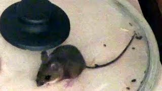 How to catch a mouse with a lid