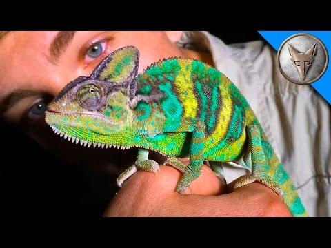 Wild Chameleons in Florida