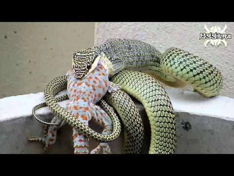 งู กับ ตุ๊กแก ตอน 2 Snakes and geckos.