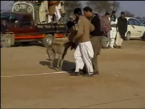 Greyhound race in Pakistan amazing and entertaining traditional sport