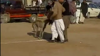 Greyhound race in Pakistan, amazing and entertaining traditional sport