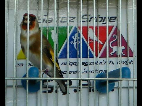 CD za skolovanje štiglića Carduelis balcanica goldfinch song World Championship