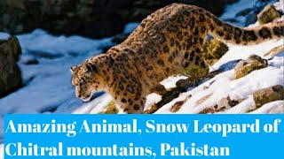 Natural World  Snow Leopard of PAKISTAN By Mansoor