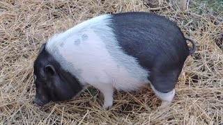 Living with a Pot Bellied Pig