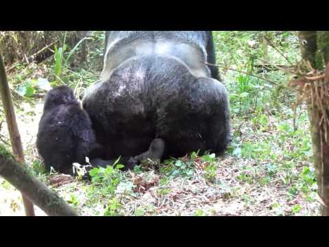 Xxx Mp4 Baby Walks In On Gorillas Doin It 3gp Sex