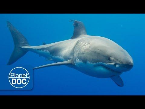 Australia. El Gran Tiburón Blanco Documental Completo