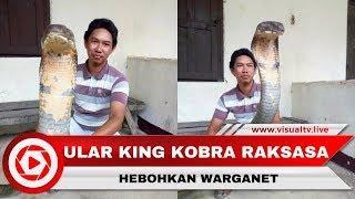 Heboh Ular King Kobra Raksasa, Asli atau Palsu?