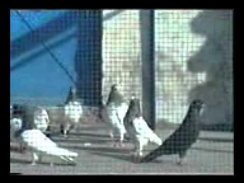 Xxx Mp4 Pakistani Pigeons Malik Usman Doga 2010part 5 Phon No 03009529610 03035601465 3gp Sex