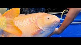 Koi Carpas ENORMES y GRANDES! el pez mas caro en el MUNDO $743,000 dollars