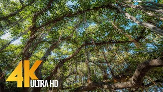 4K Hawaiian Forest - Lahaina Banyan Tree - 3 HOUR Bird Signing for Relaxation and Stress Relief