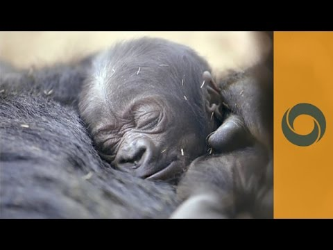 Xxx Mp4 Close To Mom S Heart Baby Gorilla In San Diego Zoo 3gp Sex