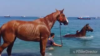 Harwat kuda belanda mandi di pantai