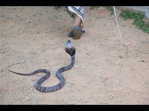 Sri Lanka Mirissa Schlangenfarm Snake Farm Cobra and Scorpion amazing snake attack