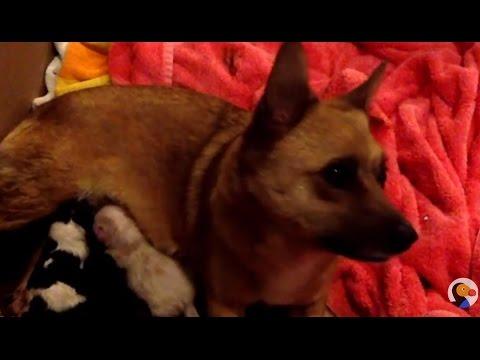 LIVE Dog Birth Live Stream The Dodo LIVE