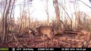 Buck Mating with Doe