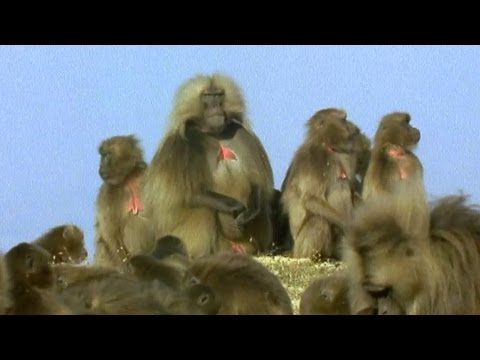 Gelada Baboon Sexual Tension Battle of the Sexes in the Animal World BBC Earth BBC